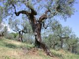 Olive Orchard near Bevagna, Umbria