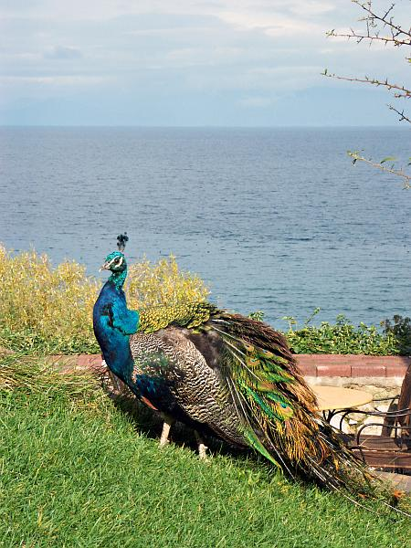 Peacock at Sveti Naum