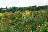 Wild flowers, Kibbutz Alonim (558a)