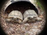 Tortoises 2005 DSC00761.jpg