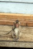 018 - Unimpressed looking monkey