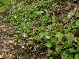 Epigaea repens (Trailing Arbutus) beside the trail