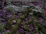 Diphylleia cymosa (Umbrella-Leaf) in a wet shady cove