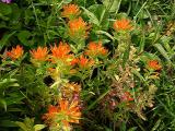 Castilleja coccinea (Indian Paint Brush)