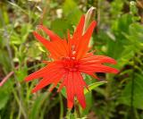 Silene virginica (Fire Pink)