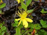 Hypericum buckleyi (St. John's Wort) MP 424.2 N