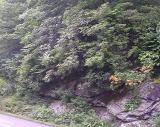 R. arborescens, R. calendulaceum MP 413.9 N
