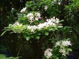 R. arborescens MP 413.9 N