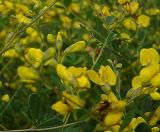 Baptisia tinctoria (Yellow Indigo)