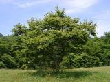 Castanea pumila (Chinquapin)
