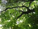 Magnolia fraseri (Fraser Magnolia, Mountain Magnolia, Umbrella Tree)