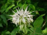 Monarda clinopodia