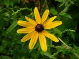 Rudbeckia sp.