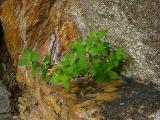 Hypericum buckleyi MP 421.7 N, 5494'