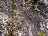 Saxifraga michauxii MP 421.8 N