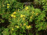 Hypericum buckleyi