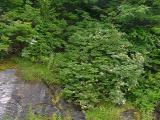 R. arborescens MP 414.3 N