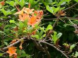 R. calendulaceum MP 413.9 N