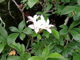 R. arborescens MP 411.4 N