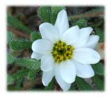 Tiny White Desert Flower