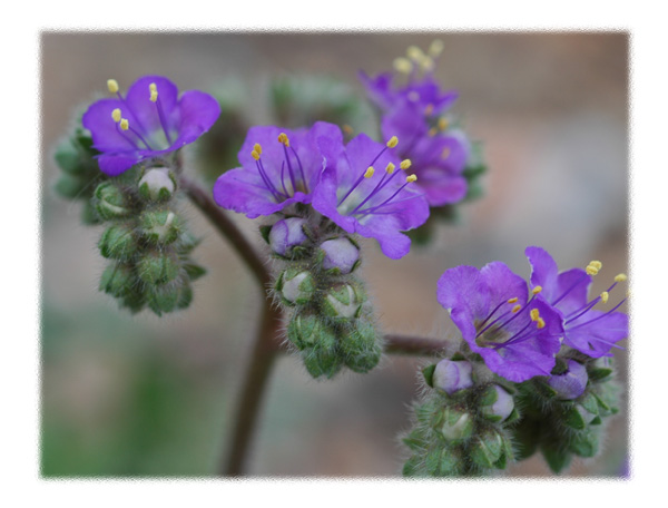 Purple Desert Flowers