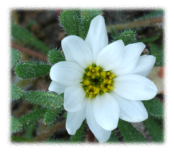 Tiny White Desert Flower