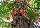 Cannon Ball Tree - Couroupita Guianensis