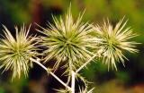 Greek and Turkish Flora