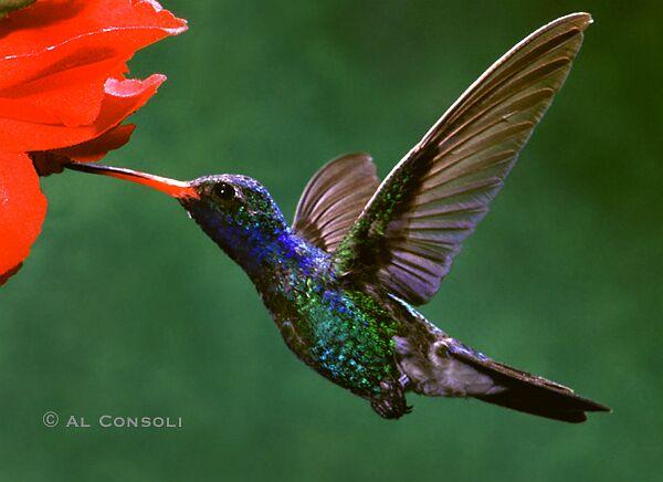 Broadbill Hummingbird