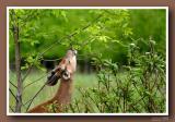 Cerfs de virginie / White-tailed deers