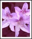 ds20050428_0031a2wF Blossoms.jpg