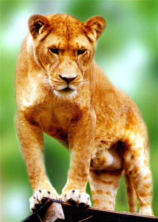 Lioness on Hunt