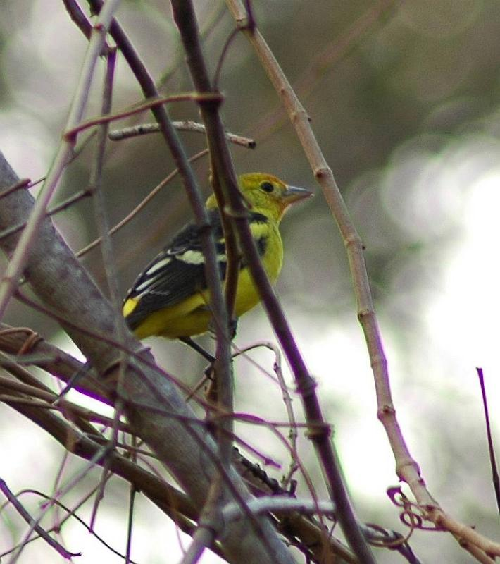 Rare Western Tanager