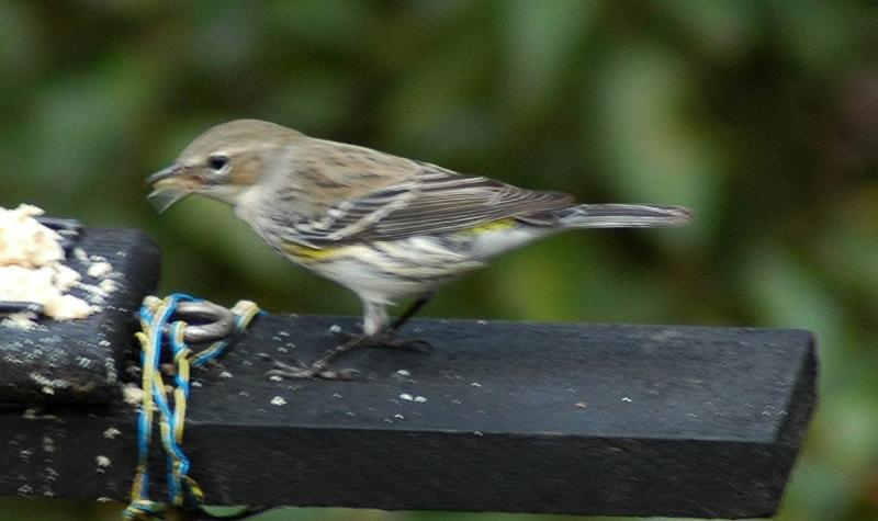 Yellow-rumped Warbler at the suet