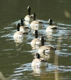 Canadian Geese - Waverly Pond