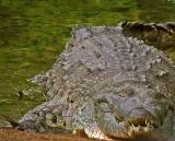 Orinoco crocodile / Caimán del Orinoco