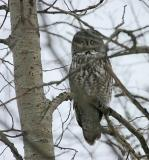 Great Gray Owl peeking out from behind branches