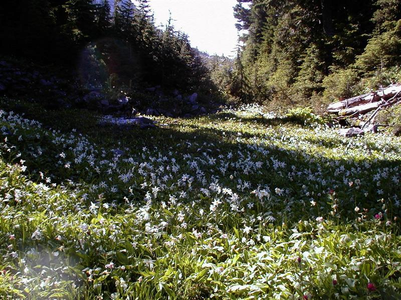 Erythronium.montanum - Avalanche Lilly (RN)