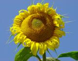 Gigantic Balgat sunflower
