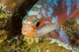 Creolefish with isopod parasite