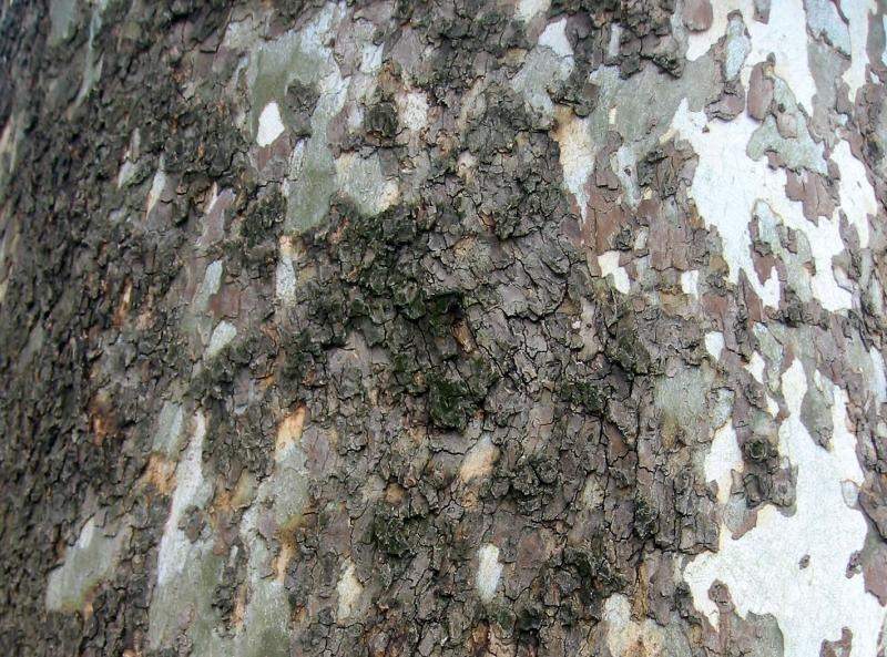 Sycamore or London Plane Tree Bark