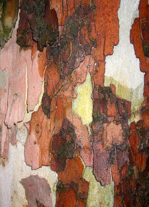 Sycamore or London Plane Tree Bark