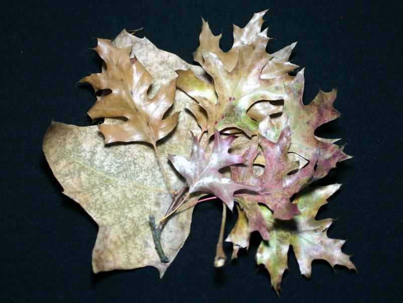 Sycamore &  Oak Leaves
