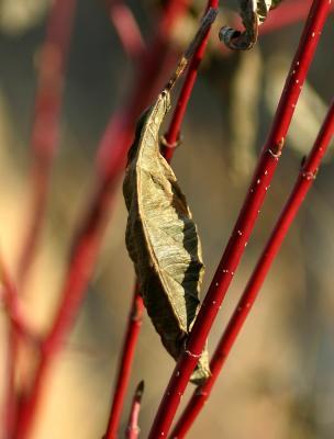 Red Bark Bush