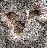 Golden Rain Tree Bark