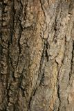 Japanese Pagoda Tree Bark