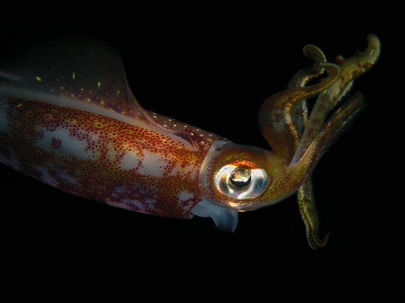 Reef Squid 4