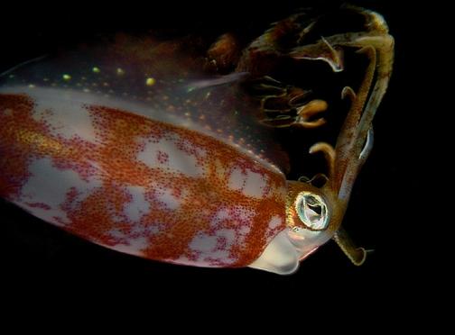 Reef Squid 5