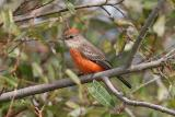 Vermilion Flycatcher, HY (#2 of 3)