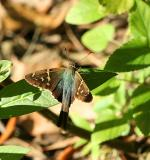 long tailed skipper. tail in shadow